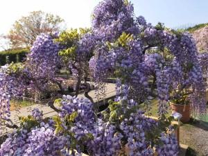 010紫色の藤