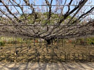 012 1~2分咲きの大藤