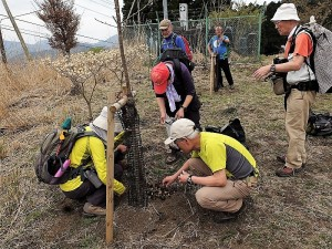 サクラを手入れしつつ木の根元に水仙を植えた